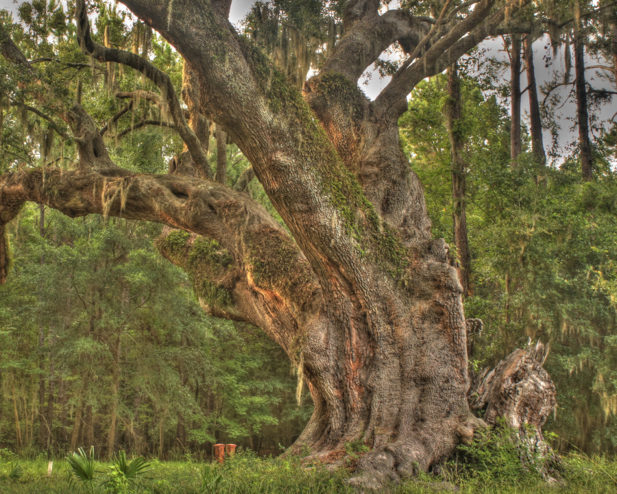 Photo 4 - Cherry Hill Plantation Heritage Oak